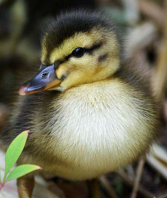 Cutest Duck