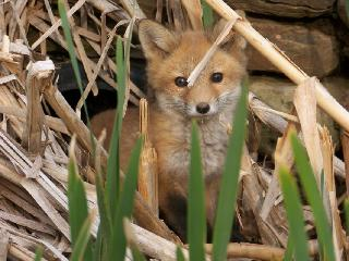 Cutest Fox