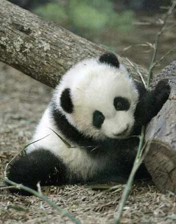 Cutest Panda Bear
