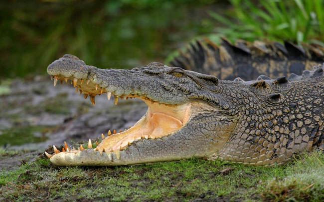 Image of: Latin America Dangerous Crocodile Animal Danger The Worlds Most Dangerous Animals Top 10 Deadliest Animals