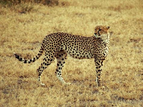 Endangered Cheetah