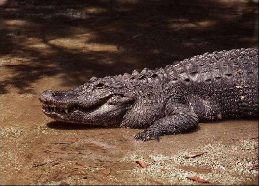 Endangered Chinese Alligator