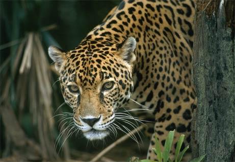 Jaguar on Animal  Jaguar