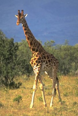 Tallest Animal Related Keywords & Suggestions - Tallest Animal ...